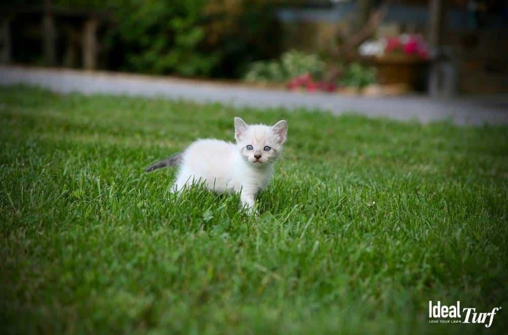 Kitten-Safe-Ground-Cover