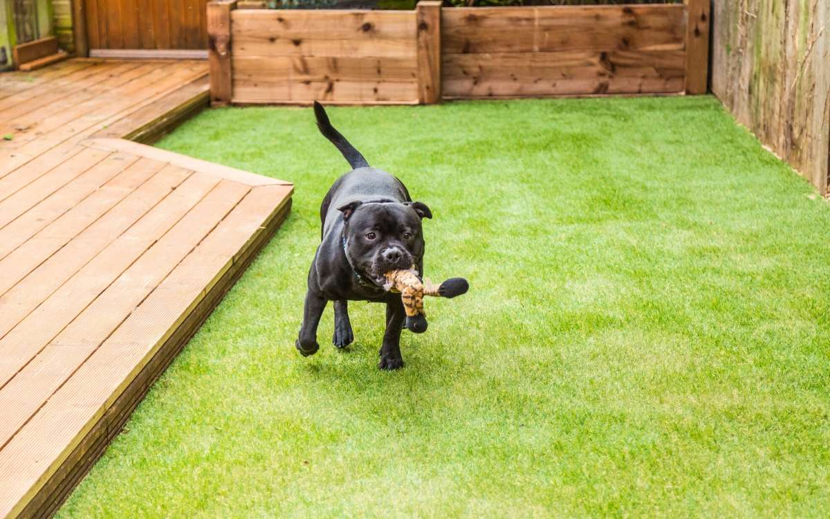 Black dog carrying toy while walking on artificial pet turf