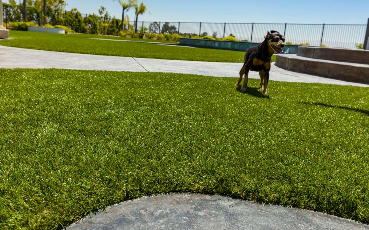 Black & Tan dog standing in Fort Worth, Texas backyard on recent artificial pet turf installation
