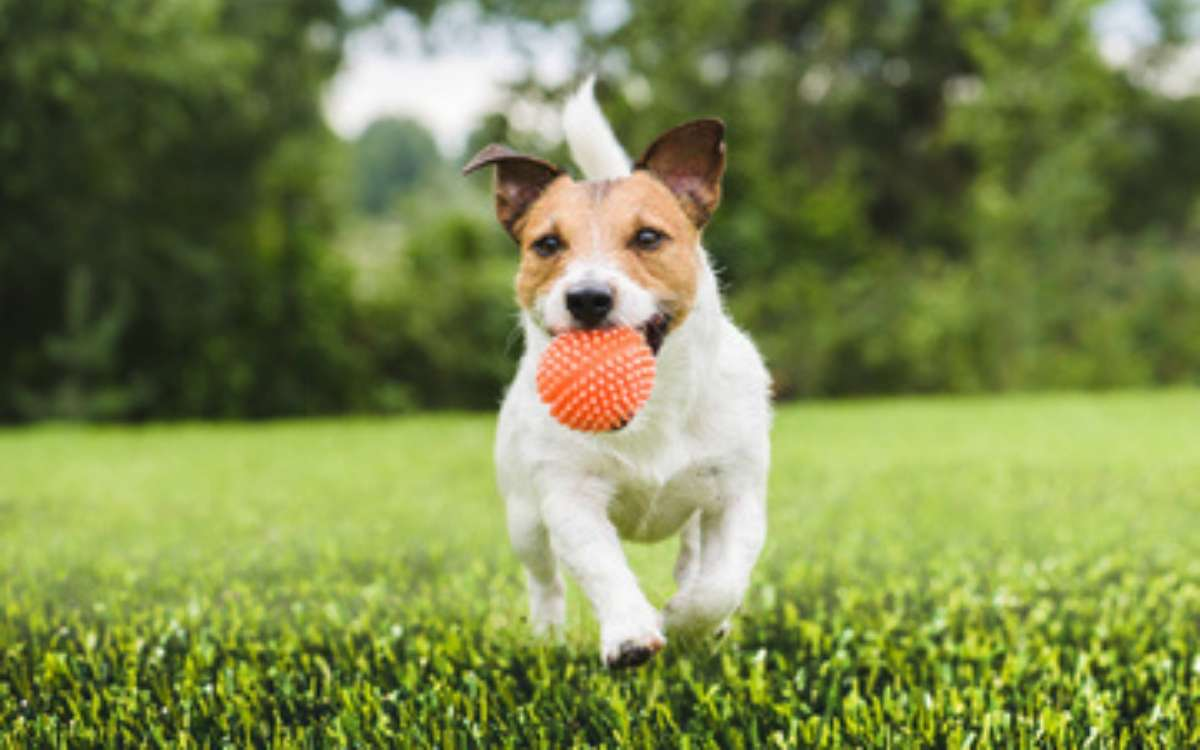 Small white & brown dog running on artificial pet turf with orange ball