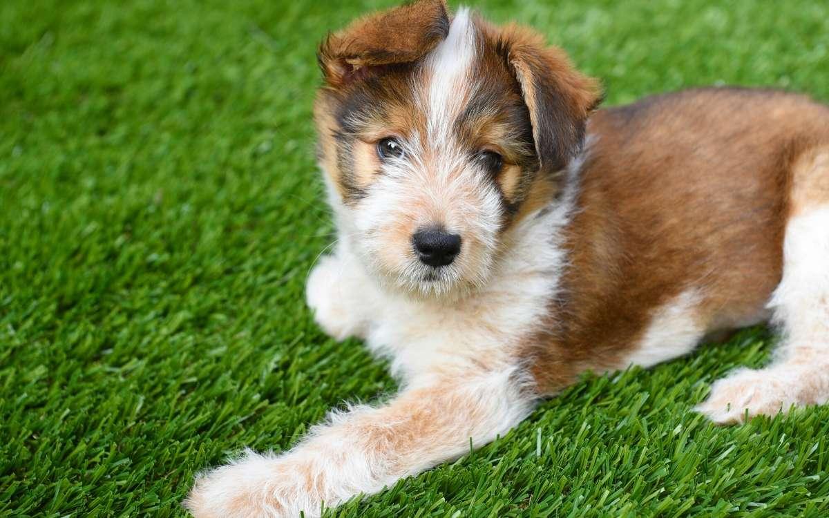 Australian Shepherd Puppy laying on artificial grass surface.
