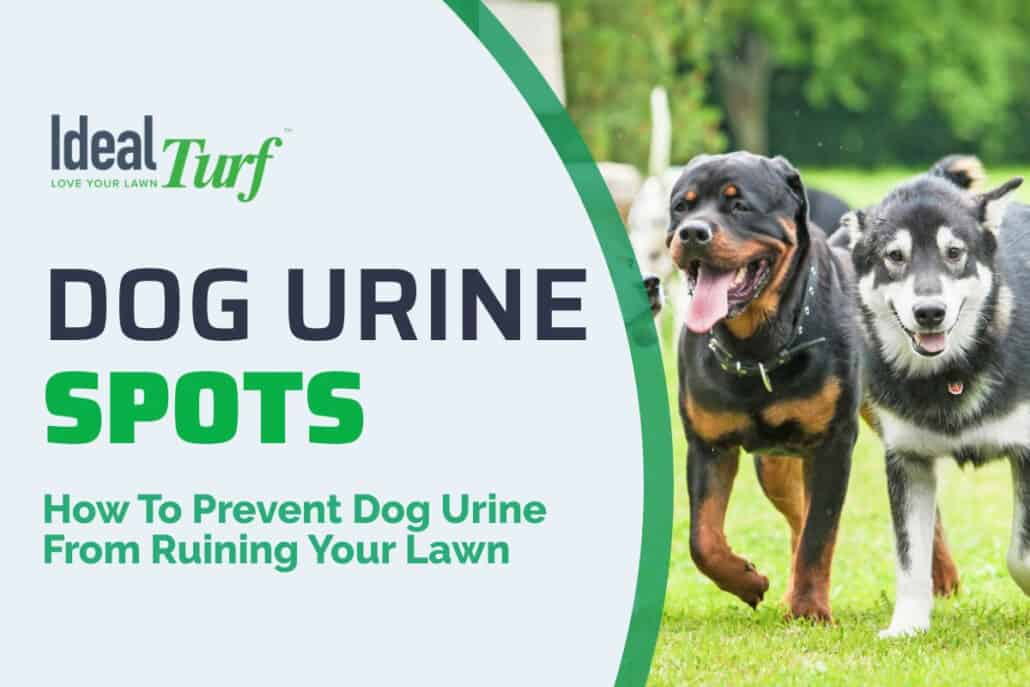Stop Dog Urine Spots in Grass With Artificial Turf