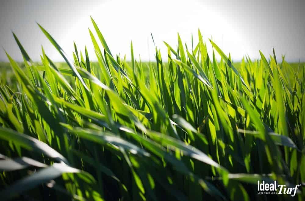 Closeup of natural grass