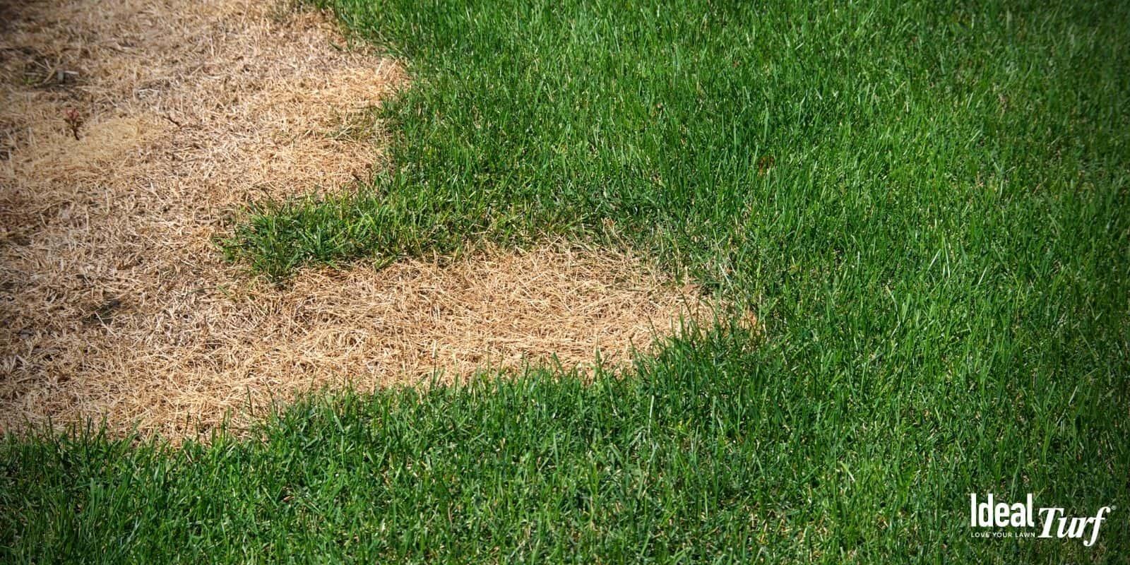 Brown Dog Urine Spots on Grass