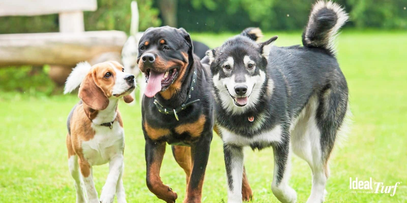 Three dogs walking together on artificial grass
